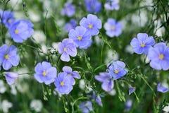 Lnów kwiaty Zdjęcie Royalty Free