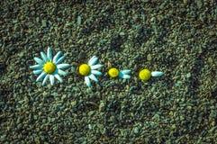 Lo ama? Lo ama non? Coglitura dei petali dei fiori per rispondere alla domanda Mi ama non Immagine Stock Libera da Diritti
