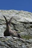 Lo capra-stambecco alpino si siede su una roccia Fotografia Stock Libera da Diritti