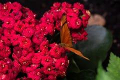 Lo iulia del Dryas ha chiamato comunemente la farfalla di Julia immagine stock