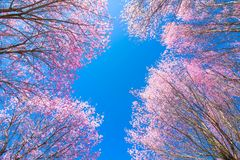 Lo Loei Таиланд lom phu цветка Сакуры вишневого цвета розовое Стоковое Фото