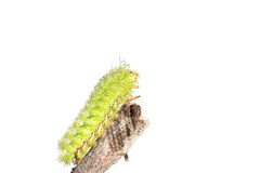 Lo Moth caterpillar Royalty Free Stock Photography