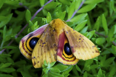 Lo Moth sitting in green moss showing his markings. Stock Image