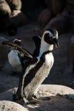 Lo sbattimento del pinguino traversa l'habitat volando del gruppo Immagine Stock