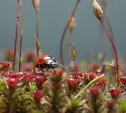 Lo scarabeo cammina sul pavimento muscoso della foresta Fotografia Stock