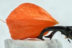 Lo scarabeo dei cervi tiene la frutta del Physalis in suoi corni Immagine Stock Libera da Diritti