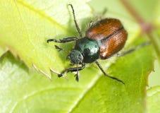 Lo scarabeo del rinforzo del giardino Fotografie Stock Libere da Diritti