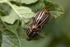 Lo scarabeo di patata del colorado Fotografie Stock