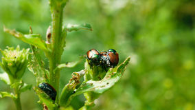 Lo scarabeo giapponese è specie comuni di scarabeo Fotografia Stock