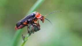 Lo scarabeo Longicorn scala la rappresentazione di punta del dito fotografia stock libera da diritti