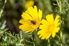 Lo scarabeo nero impollina un wildflower giallo della margherita contro un gree Immagini Stock Libere da Diritti