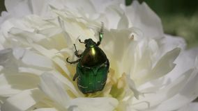 Lo scarabeo Rose Chafer o Rose Chafer verde /Cetonia aurata/è fra i petali della peonia stock footage
