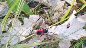 Lo scarabeo rosso Barbel striscia su una foglia asciutta archivi video