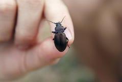 Lo scarabeo si siede sulle dita Fotografia Stock