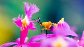 Lo scarabeo, un piccolo ladro del fiore Fotografia Stock Libera da Diritti