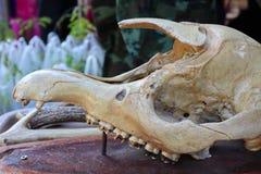 Lo scheletro è una struttura rigida che è usata Supporto e proteggere i tessuti molli dei corpi animali, consistenti delle ossa fotografia stock