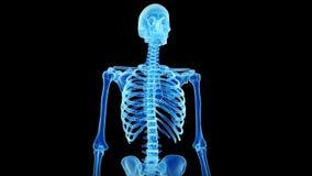 Lo scheletro umano royalty illustrazione gratis