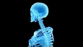 Lo scheletro umano illustrazione vettoriale