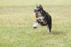 Lo schnauzer miniatura del cane di razza su erba verde gioca con fotografia stock