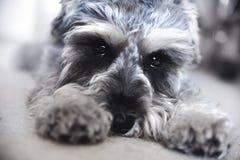 Lo schnauzer miniatura del cucciolo si trova sul pavimento fotografia stock