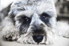 Lo schnauzer miniatura del cucciolo si trova sul pavimento immagine stock