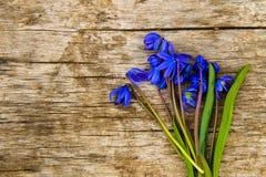 Lo scilla blu fiorisce il siberica di Scilla o la scilla marina siberiana su fondo di legno Fotografie Stock Libere da Diritti