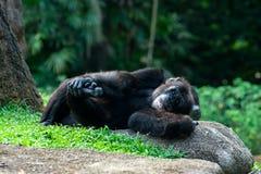 Lo scimpanzè si trova sull'erba Fotografia Stock Libera da Diritti