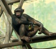 Lo scimpanzè sopra si distende Fotografie Stock