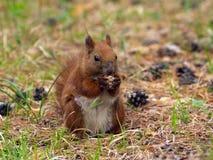 Lo Sciurus vulgaris è un rappresentante tipico dello scoiattolo in Eura Fotografia Stock