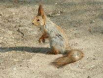 Lo scoiattolo Fotografie Stock