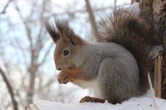 Lo scoiattolo Immagini Stock