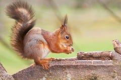 Lo scoiattolo abbastanza rosso tiene un dado in zampe su un tronco di un albero Immagine Stock Libera da Diritti