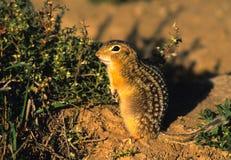 lo scoiattolo allineato terra thiteen Fotografie Stock