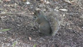 Lo scoiattolo carica le zone umide di Florida archivi video