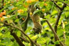 Lo scoiattolo che foraggia le ciliege rosse Immagine Stock Libera da Diritti