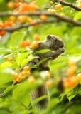 Lo scoiattolo che foraggia le ciliege rosse Immagini Stock Libere da Diritti