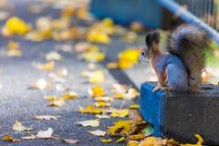 Lo scoiattolo che gioca nel parco che cerca alimento durante il giorno soleggiato di autunno immagini stock libere da diritti