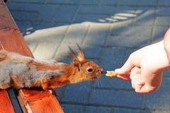 Lo scoiattolo che si siede su un banco nel parco afferra un dado da una mano umana immagini stock