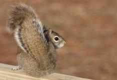 Lo scoiattolo del Brown che osserva sopra esso è spalla Immagine Stock