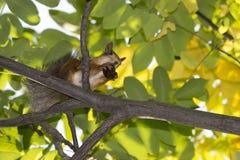 Lo scoiattolo del fondo di autunno rosicchia un dado in un albero Immagini Stock
