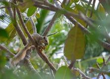 Lo scoiattolo dell'albino che mangia la frutta deliziosa e sta attento sul TR immagini stock libere da diritti