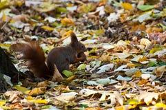 Lo scoiattolo ed il suo dado Immagini Stock Libere da Diritti