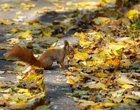 Lo scoiattolo ed il suo dado Immagine Stock