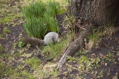 Lo scoiattolo grigio riunisce e mangia le ghiande La rotazione in natura Alimentazione animale immagini stock libere da diritti