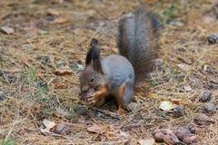 Lo scoiattolo grigio rosicchia un dado nel parco Immagine Stock