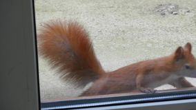 Lo scoiattolo guarda attraverso la finestra video d archivio