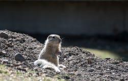 Lo scoiattolo guarda fuori Fotografie Stock Libere da Diritti
