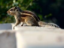 Lo scoiattolo indiano della palma o scoiattolo tre-a strisce della palma Fotografia Stock