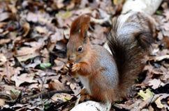 Lo scoiattolo mangia. Immagine Stock