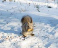 Lo scoiattolo mangia Fotografia Stock